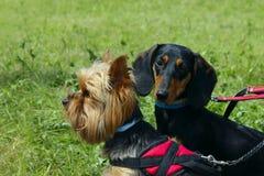 Yorkshire Terrier och svart tax över bakgrund för grönt gräs hundar arkivfoto