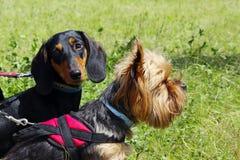 Yorkshire Terrier och svart tax över bakgrund för grönt gräs hundar royaltyfri foto