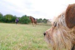 Yorkshire Terrier ogląda Końskiego szkolenie Obraz Stock
