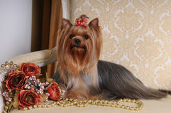 Yorkshire Terrier On The Armchair Royalty Free Stock Photography