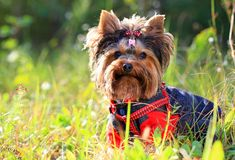 Yorkshire terrier outdoors Royalty Free Stock Image