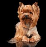 Yorkshire Terrier på svart Arkivbilder