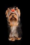 Yorkshire Terrier på svart Royaltyfri Bild