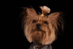 Yorkshire terrier p? svart bakgrund N?rbild royaltyfri fotografi