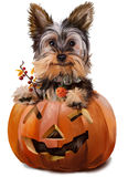 Yorkshire Terrier painting. Yorkshire Terrier peeking out of a pumpkin Stock Photography