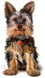 Yorkshire Terrier painting royalty free illustration