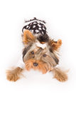 Yorkshire terrier with pajamas Royalty Free Stock Photography