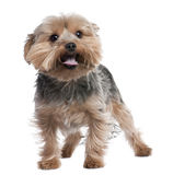 Yorkshire Terrier panting (2 years old). In front of a white background Royalty Free Stock Images