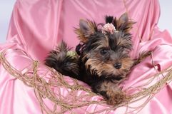 Yorkshire terrier pappy in pink silk and beads Stock Photography