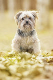 Yorkshire Terrier. In the park Royalty Free Stock Photo