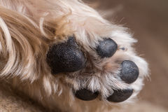 Yorkshire Terrier Paw Royalty Free Stock Photo