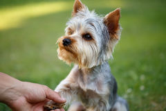 Yorkshire terrier pequeno bonito Foto de Stock Royalty Free