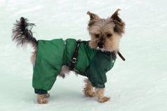 Yorkshire terrier pequeno que levanta um cão de Yorkie da grama foto de stock