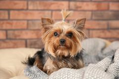 Yorkshire terrier on pet bed against brick wall. stock photography