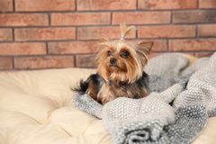 Yorkshire terrier on pet bed against brick wall, space for text. royalty free stock photos