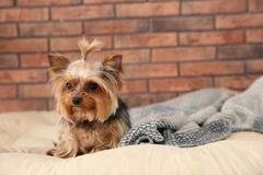 Yorkshire terrier on pet bed against brick wall, space for text. Happy dog royalty free stock photography