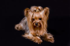Yorkshire terrier. Pet, on the black background royalty free stock photos
