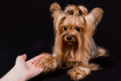 Yorkshire terrier. Pet, on the black background Stock Photo