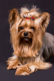 Yorkshire terrier. Pet, on the black background Stock Photos