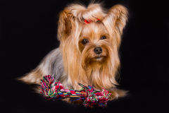 Yorkshire terrier. Pet, on the black background Stock Photography