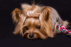 Yorkshire terrier. Pet, on the black background Royalty Free Stock Photography