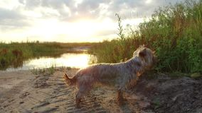 Yorkshire Terrier pet Dog at sunset by the lake in the nature steadicam shot motion video royalty free stock photos