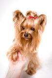 Yorkshire terrier. Pet, on the white background royalty free stock photos