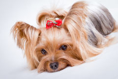 Yorkshire terrier. Pet, on the white background Stock Photography