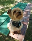 Yorkshire Terrier on picnic bench. royalty free stock image