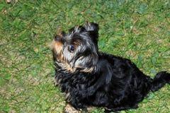 Yorkshire terrier pieno di vita del cucciolo Fotografie Stock