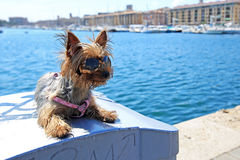 Yorkshire terrier at pier background. Yorkshire terrier sitting at pier background royalty free stock image