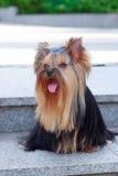 Yorkshire Terrier pies na zielonej trawie Obrazy Stock
