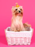 Yorkshire terrier in a pink basket Royalty Free Stock Photography