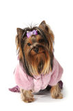 Yorkshire terrier in pink fur coat Stock Images