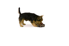 Yorkshire terrier playing with chew toy Royalty Free Stock Photography