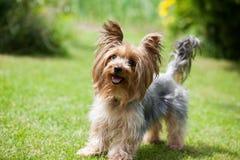 Yorkshire terrier Stock Image