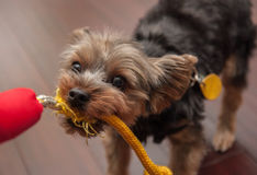 Yorkshire Terrier Playing Stock Photos