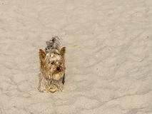Yorkshire terrier playing on a sandy beach on a sunny day stock photo