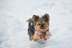 Yorkshire terrier playing in the snow stock photography
