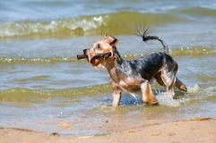Yorkshire Terrier Playing With A Stick Stock Photography