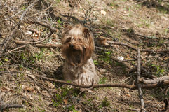 Yorkshire terrier playing Royalty Free Stock Photography