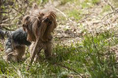 Yorkshire terrier playing Royalty Free Stock Photos