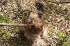 Yorkshire terrier playing Stock Images