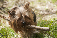 Yorkshire terrier playing Royalty Free Stock Images