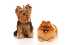 Yorkshire terrier and Pomeranian Spitz Royalty Free Stock Photos