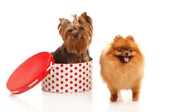 Yorkshire terrier and Pomeranian Spitz Royalty Free Stock Image