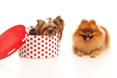 Yorkshire terrier and Pomeranian Spitz Royalty Free Stock Photography