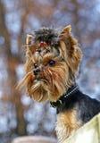 Yorkshire terrier portrait. Glamur yorkshire terrier dog portrait Stock Photo