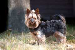 Yorkshire Terrier portrait Stock Image