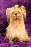 Yorkshire Terrier portrait Stock Photo
